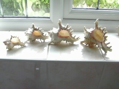 REAL SEA SHELLS - ROSE MUREX x 4