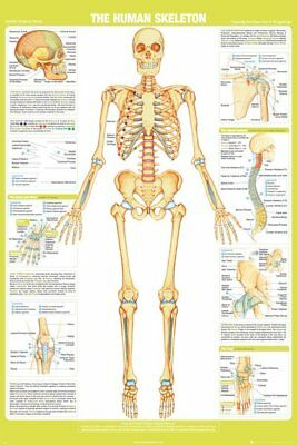 Chartex The Human Skeleton Detailed Information Facts 91.5X61Cm Maxi Poster