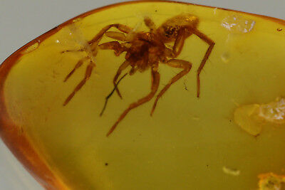 Great SPIDER |Araneae Inclusion Fossil Genuine BALTIC AMBER 180801-24