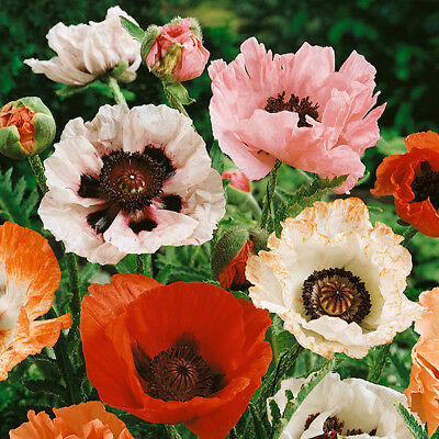 Papaver Orientale New Hybrids - 500 Seeds - Perennial Flower - Poppy
