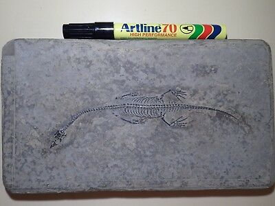 KEICHOUSAURUS Fossil7.0inch (18.0 cm), complete and100% GENUINE.