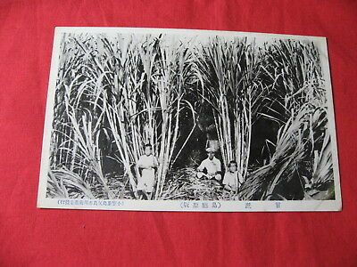 Postcard Japan Photo Ogasawara Islands Sugar Cane in Plantation Farm 1920's