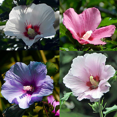 Hardy Hibiscus Seeds Lady Baltimore Perennial Flowering Shrub