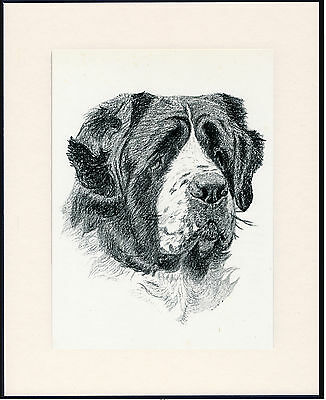 Saint Bernard Old Dog Head Study Print From 1935 Mounted Ready To Frame
