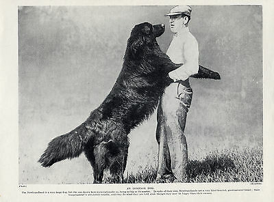 Newfoundland Man And Large Dog Old Original Dog Print From 1934