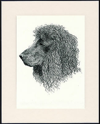 Irish Water Spaniel Old Dog Head Study Print From 1935 Mounted Ready To Frame