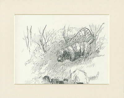 SEALYHAM TERRIER ON BANK OF STREAM 1930'S DOG SKETCH PRINT by KF BARKER MOUNTED