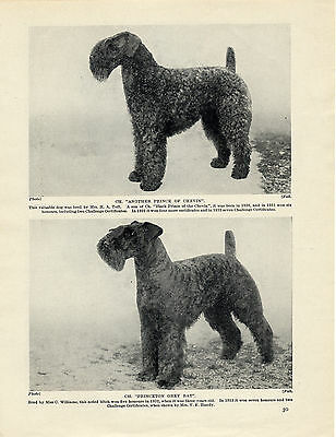 Kerry Blue Terrier Two Named Champion Dogs Old Original Dog 1934 Print