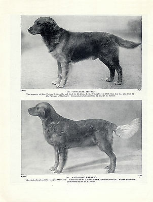 Golden Retriever Named Champion Dogs On Old Original Dog Print From 1934