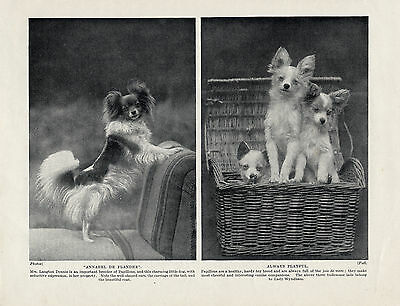 Papillon Two Charming Images On Old Original Dog Print From 1934