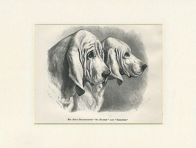 Bloodhound Dogs Head Study Antique 1878 Named Dog Print Engraving Ready Mounted