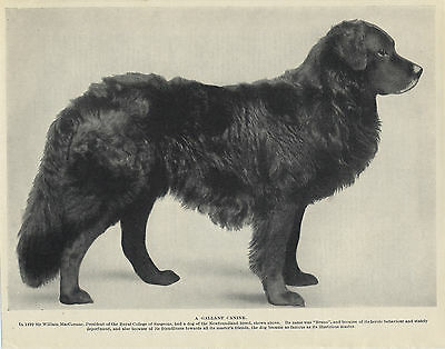 Newfoundland Black Dog Old Original Dog Print From 1934