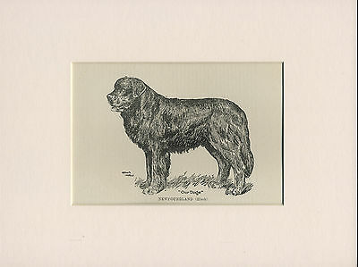 NEWFOUNDLAND LOVELY ANTIQUE DOG PRINT FROM 1912 by WARDLE READY MOUNTED