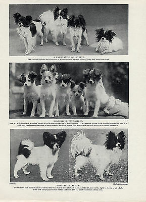 Papillon Charming Images Of These Little Dogs On An Old Original 1934 Dog Print