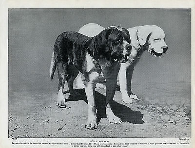 Saint Bernard Two Working Dogs From Monastry Lovely Old Original 1934 Dog Print