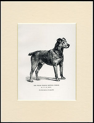 Welsh Terrier Named Dog Rare Antique 1900 Dog Print Mounted Ready To Frame