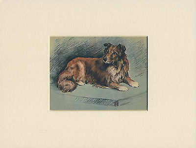 Collie Rough Lovely Little Old 1920'S Dog Print Mounted Ready To Frame