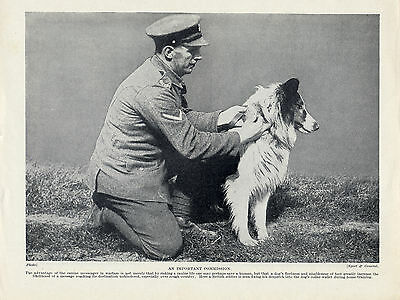 Rough Collie War Messenger Dog And Soldier Old Original Dog Print Page From 1934