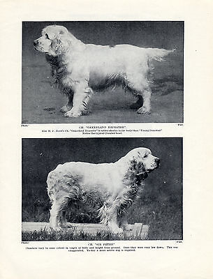 Clumber Spaniel Two Named Champion Dogs Old Original Dog Print Page From 1934