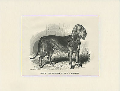 Bloodhound Rare Old Antique 1867 Named Dog Print Engraving Ready Mounted
