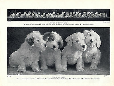 Sealyham Terrier Twenty One Bitches And Four Cute Puppies Old 1934 Dog Print