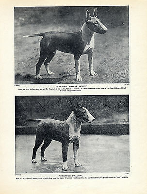 Bull Terrier Named Dogs Brendon Kennels Old Original Dog Print Page From 1934
