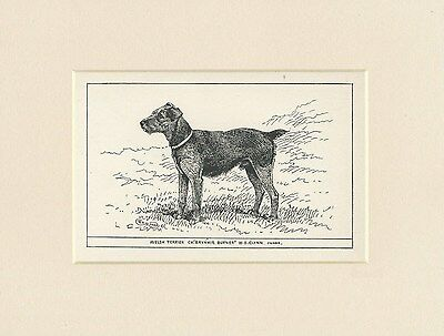 Welsh Terrier Rare Antique 1900 Engraving Named Dog Print Ready Mounted