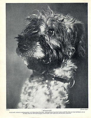 Briard Head Study Old Original Dog Print Page From 1934