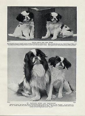 Japanese Chin Puppies And Named Champion Dogs Old Original Dog Print From 1934
