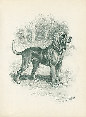 BLOODHOUND LOVELY OLD 1950's DOG SKETCH PRINT by EDWIN MEGARGEE