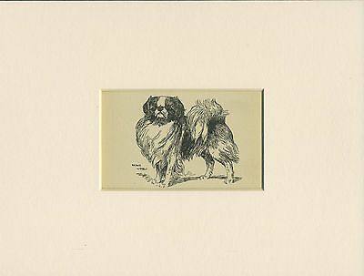 JAPANESE CHIN LOVELY ANTIQUE DOG PRINT FROM 1912 by WARDLE READY MOUNTED