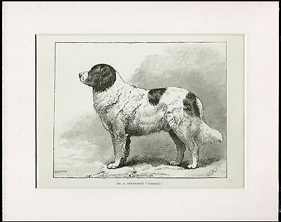 Landseer Newfoundland Old Antique 1880 Dog Print Engraving Ready Mounted