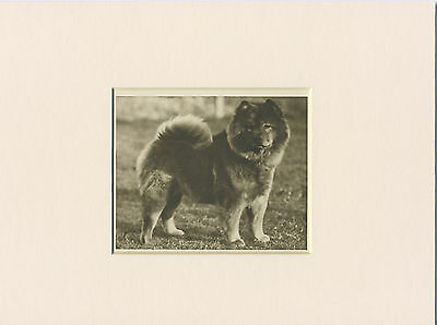 Chow Chow Original Vintage 1931 Dog Print Mounted Ready To Frame