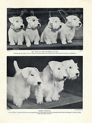 Sealyham Terrier Winning Dogs At The National Terrier Show Old 1934 Dog Print