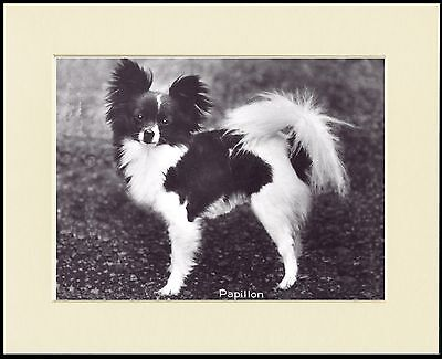 Papillon Lovely Little Dog Photo Print Mounted Ready To Frame
