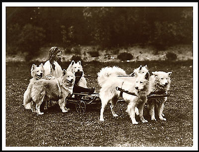 Little Girl On Cart Pulled By Samoyed Dogs Lovely Vintage Style Dog Print Poster