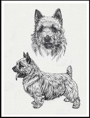 Norwich Terrier Lovely Dog Sketch Print Poster
