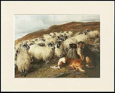 Rough Collie Dogs Guarding Sheep Lovely Little Dog Print Mounted Ready To Frame
