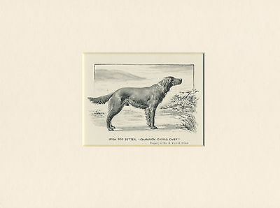 """Irish Setter Antique 1902 Dog Print Mounted Ready To Frame  """"Ch. Carrig Chief"""""""