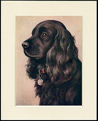 Cocker Spaniel Black Dog Head Study Lovely Dog Print Mounted Ready To Frame