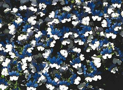 40+ Nemesia Klm Bi-Color Blue And White Flower Seeds / Annual