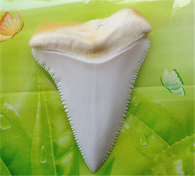 Natural 2.15 Inches Great White Shark Tooth Beautiful Megalodon Sharks