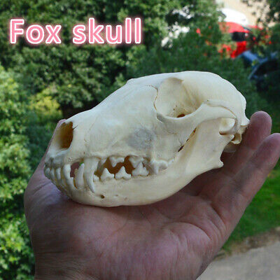 1Pcs Red Fox Skull Vulpes skull (Natural Bone Quality A)