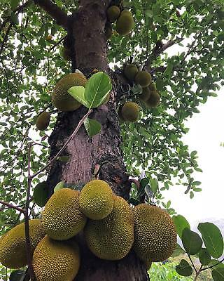 5PCS Fresh Jackfruit Seeds Fruit Flowers Rare Bonsai Pot Plants Decor Garden