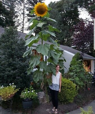Girasole Gigante 10 Semi /// Giant Sunflower - 10 Seeds