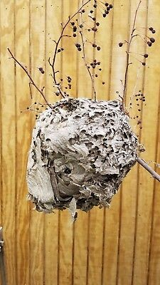 """14"""" Bald Faced White Paper Wasp - Hornets Nest, Beehive, Great Interior View!"""