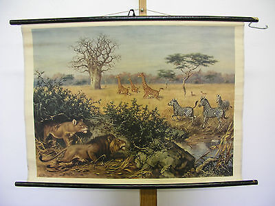 Nice Old Wall Picture Africa Animals Giraffes Zebra Lions 85x62cm Vintage~1950