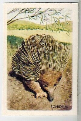 Shell Oils Project Cards - Animals Series Collector Cards - #46 Echidna