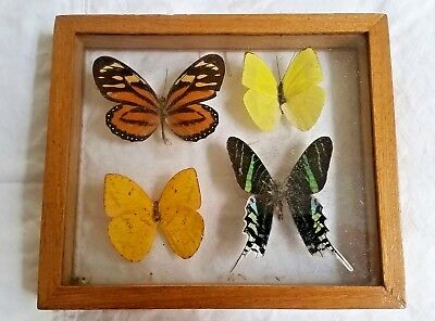 Real vintage Madagascar Butterfly Taxidermy double Glass Mounted Display Framed