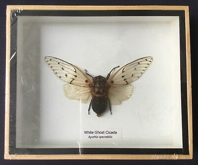 White Ghost Cicada Beetle shadow box taxidermy insect entomology interior design